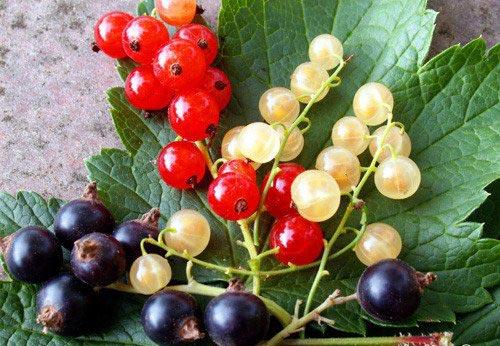 Ягоды, садовые, кустарники, неспелая, смородина, красная